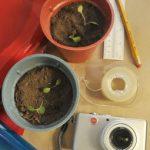 Percobaan Fototropisme Pada Tumbuhan