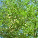 Percabaan Sains: Ilmu dibalik Pohon Kelor