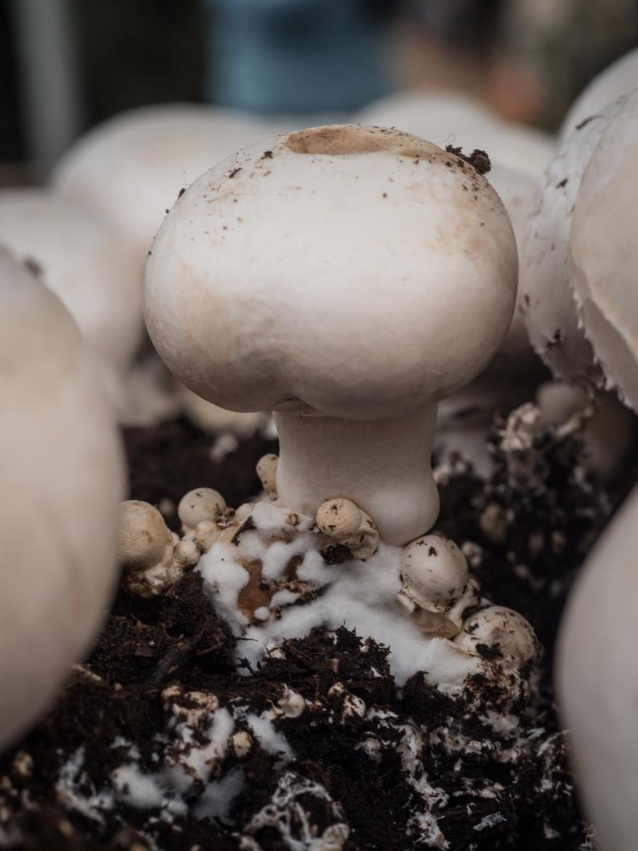 Percobaan Alami: Ilmu Kimia Dalam Jamur